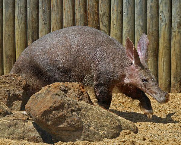 Aardvark Information