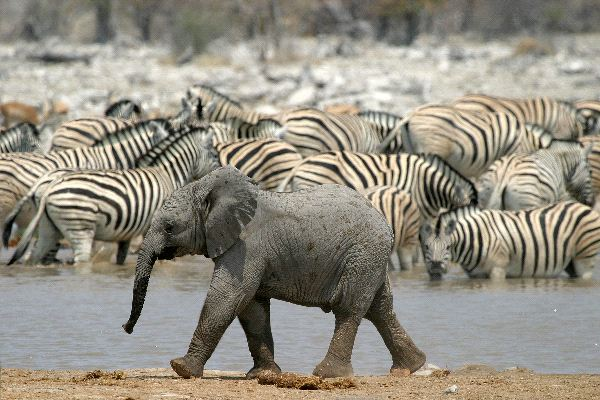African Elephant - Genus Loxodonta