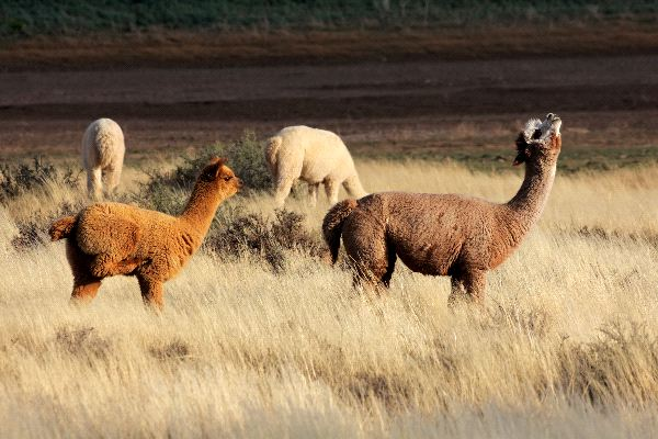 Alpacas Facts and Information