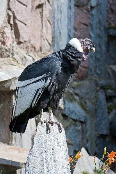 Andean Condor Information