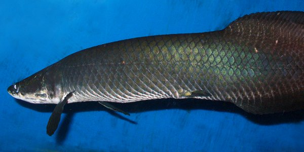 Arapaima Fish Facts
