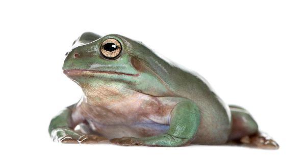 Australian Green Tree Frog Information