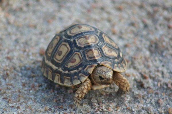 Leopard Tortoise - Stigmochelys pardalis