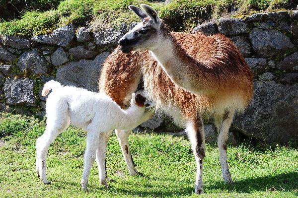 Llama Information