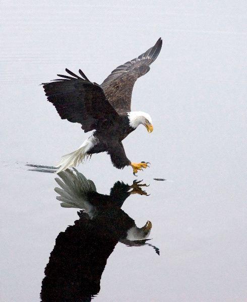 Bald Eagle Information