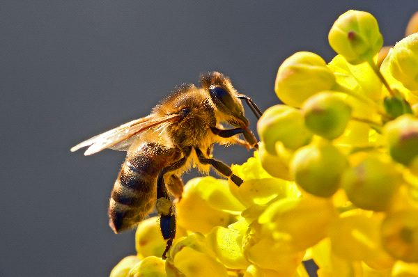 Honey Bee - Animal Facts and Information - photo#12