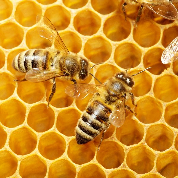 Honey Bee - Animal Facts and Information - photo#6
