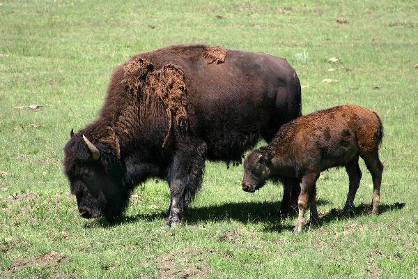 Bison - Family Bovidae