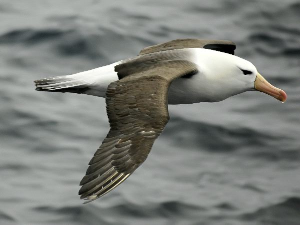 Black-Browed Albatross Facts and Information