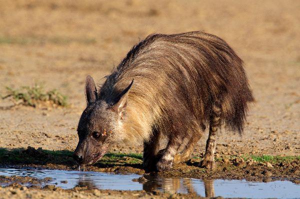 Brown Hyena Information