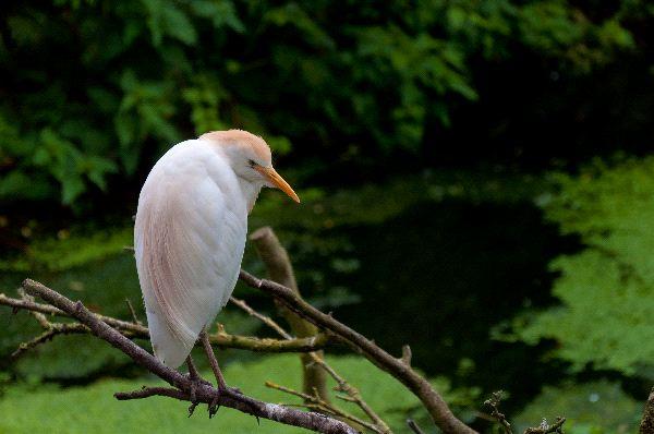 Cattle Egret Information