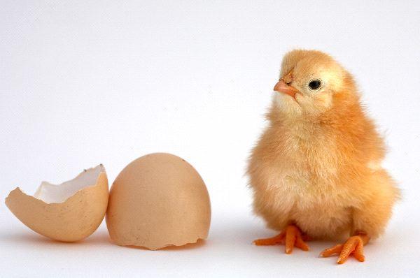 Chick - Gallus gallus domesticus