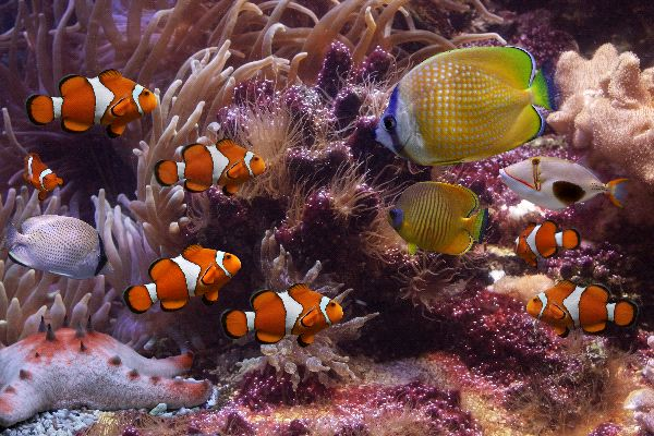 Clownfish animal facts and information for Clown fish habitat