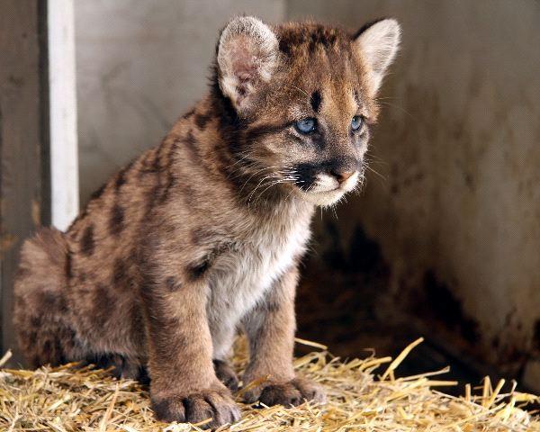 Cougar - Puma concolor