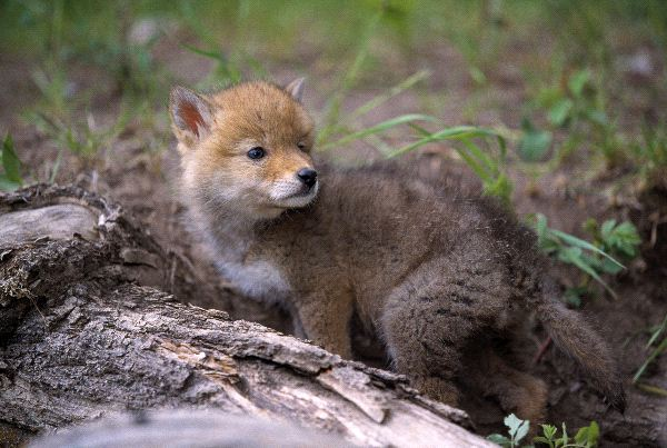 Coyote Pup - Animal Facts and Information