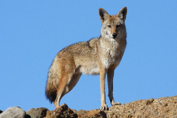 Coyote Information