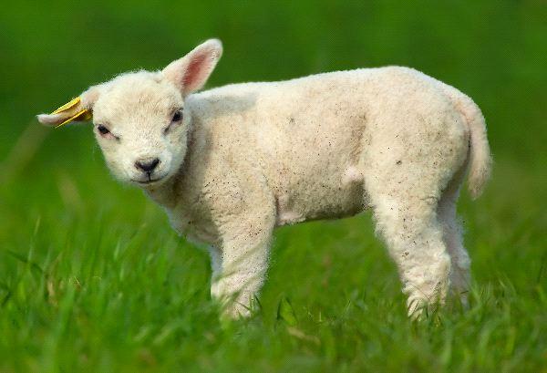 Lamb - Ovis aries