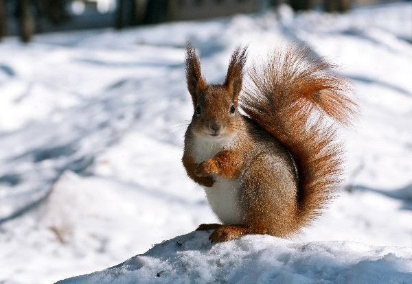 Red Squirrel Information