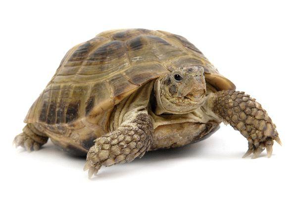 Desert Tortoise Facts