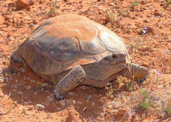 Desert Tortoise Information