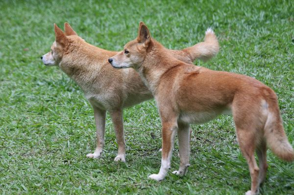 Dingo Information