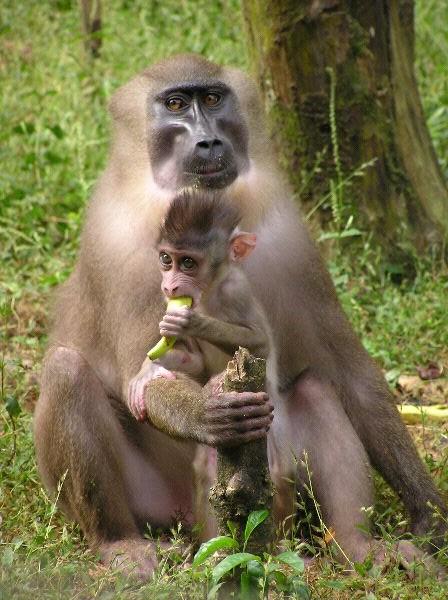 Drill Monkey - Mandrillus leucophaeus