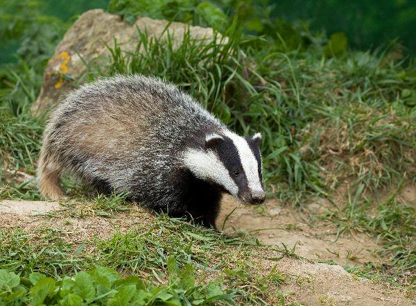 European Badger - Meles meles