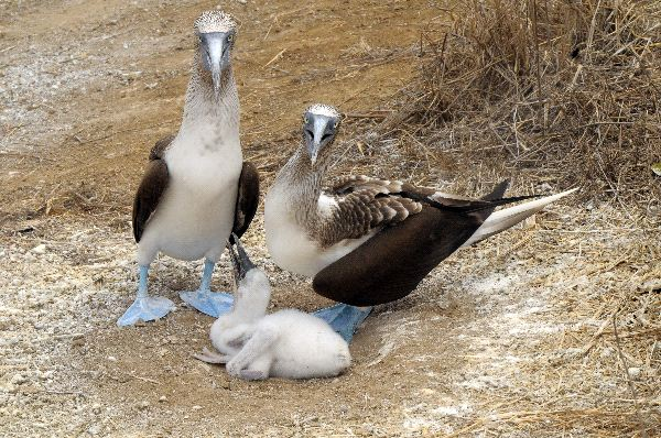 Blue-Footed Booby Facts