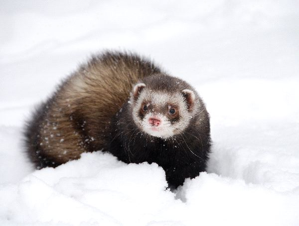 Black Footed Ferret Information