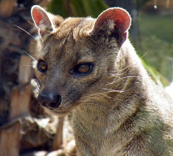 Fossa Facts