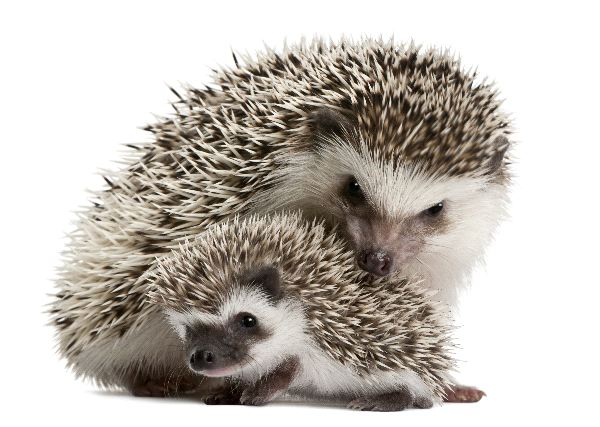 hedgehog animal facts and information. Black Bedroom Furniture Sets. Home Design Ideas