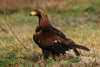 Golden_Eagle_2_400