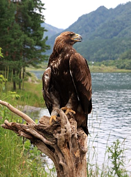 Golden Eagle Facts and Information