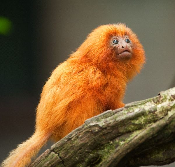 Golden Lion Tamarin Infant Facts - Animal Facts and ...