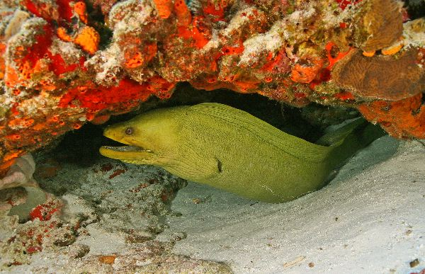 Moray Eel Enemies Moray Eel Information