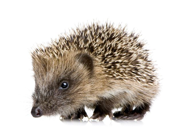 Hedgehog - Family Erinaceidae