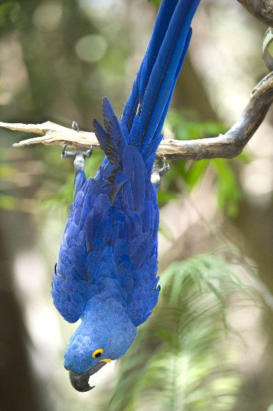 Hyacinth Macaw Information