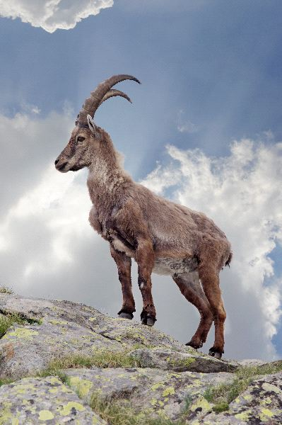 Ibex Facts and Information