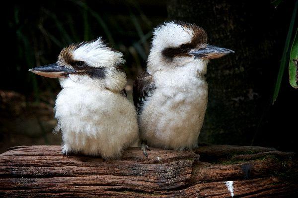 Laughing Kookaburra Facts