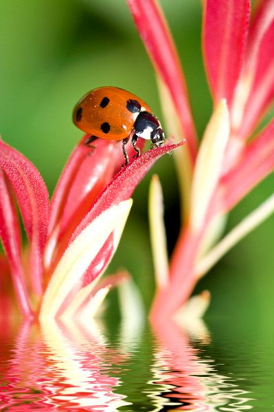 Lady Bug Information