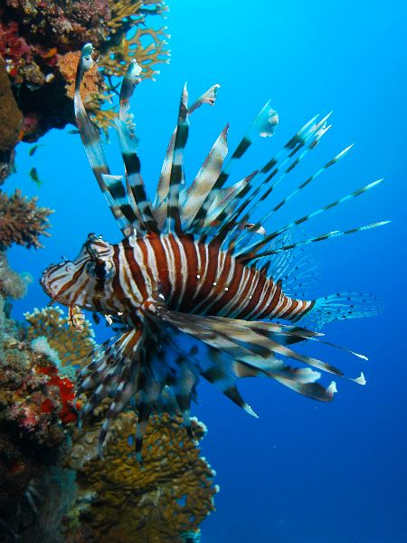 Lionfish Information