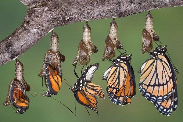 Monarch Butterfly Information