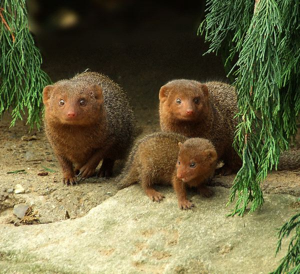 Mongoose Information