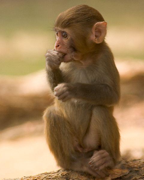 Monkey - Family Hominidae