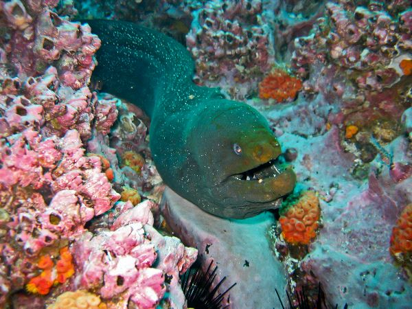 Moray Eel Enemies Moray Eel Facts