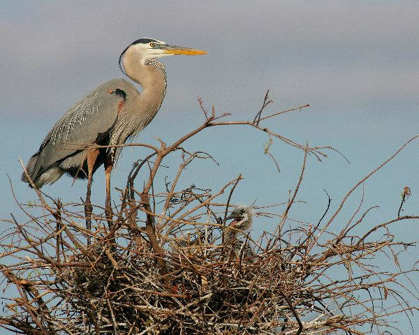Great Blue Heron Facts
