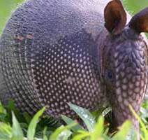Nine banded armadillo facts and information