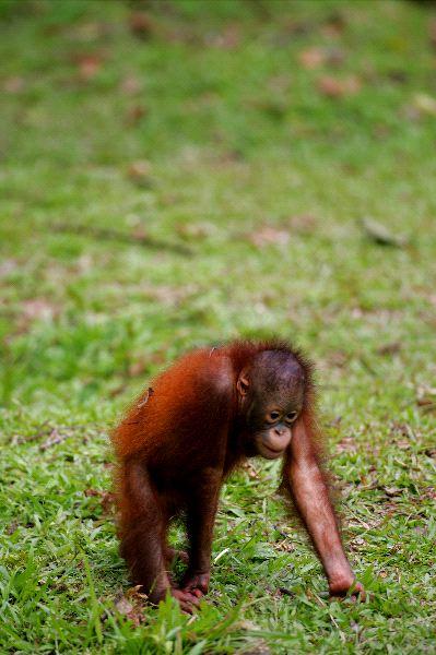 Orangutan - Genus: Pongo