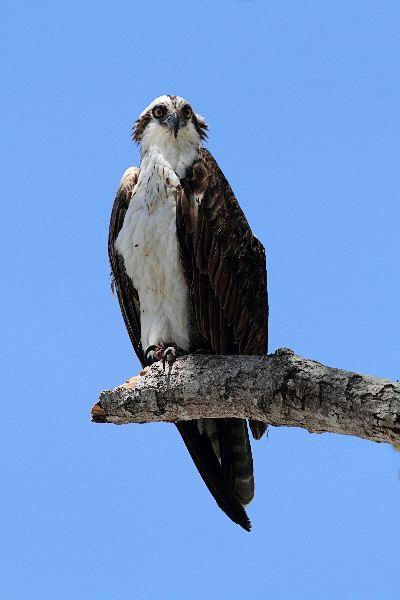 Osprey Information