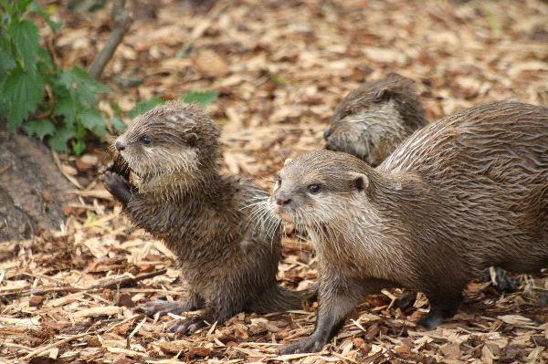 Eurasian Otter - Lutra lutra